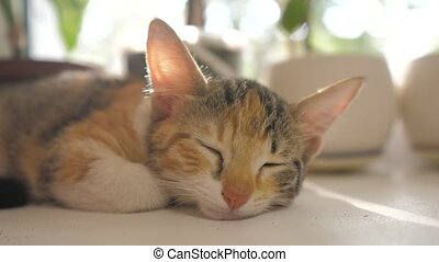 three-colored kitten sleeps lifestyle on the window in the...