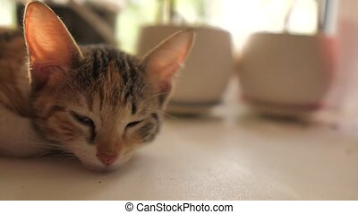 three-colored kitten sleeps on the window in the morning...