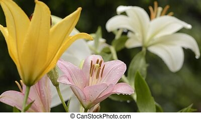 Three colors asian lily flowers wet with rain