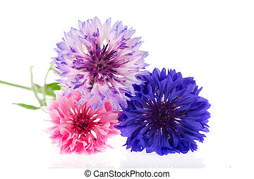 Three colors Cornflowers