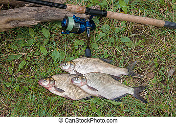 Three common bream fish on the natural background. Catching freshwater fish and fishing rod with fishing reel on green grass.