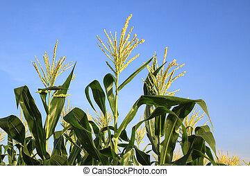 Three corn flower in blue sky