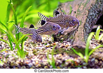 Three Corydoras Trinilleatus Catfish swimming in a planted...