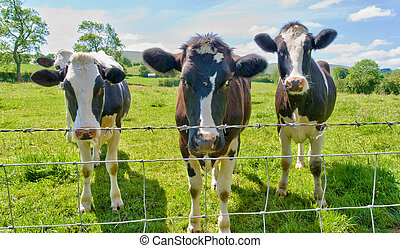 Three cows behind a barbed wire fence. - Three curious cows ...