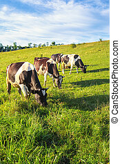 Three cows in a meadow