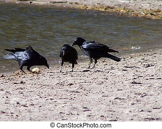 Three Crows - A Murder of Crows on beach
