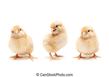 Three young fluffy baby chickens - set of cute individual chicks isolated on white - Buff Orpington