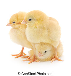 three cute chicks isolated on white background.