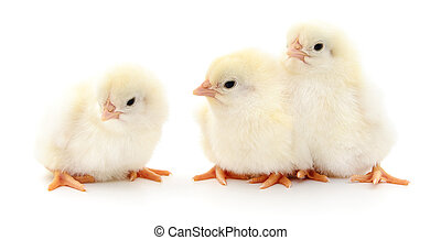 Three cute chicks.