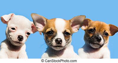 three cute chihuahua puppies in a row