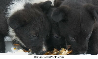 Three cute funny little black and white puppies eat on snow...