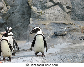 a trio of cute south african penguins