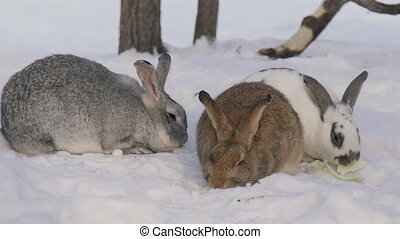 Three cute shaggy rabbits different color chew cabbage...