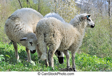 three cute sheep