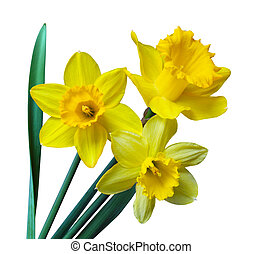 Three daffodil flowers isolated on white background