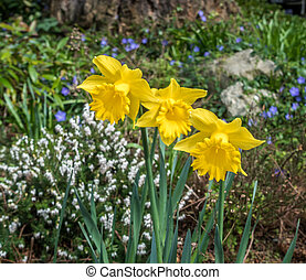 Three Daffodils 2