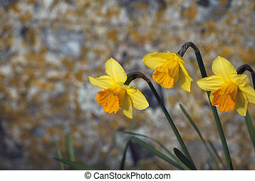 Three Daffodils Against Flint Stone Wall