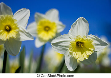 three daffodils against sky backgro