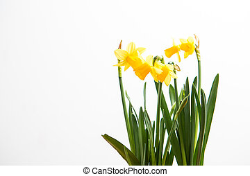 Three daffodils growing
