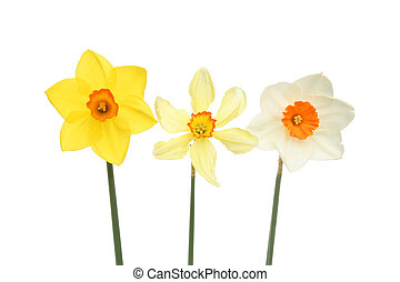 Three daffodils in a line