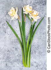Three daffodils on gray-blue background