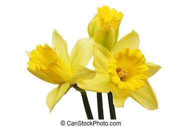 Three daffodils