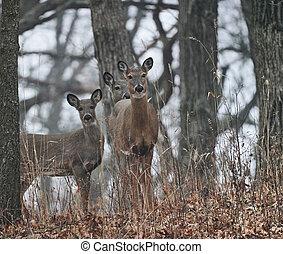 Three deer in woods looking at camera