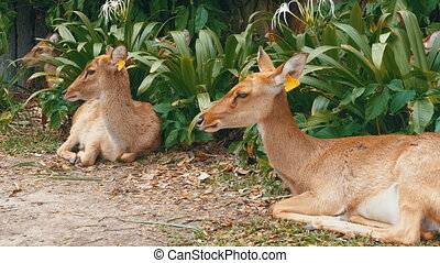 Deer lying in the bushes at the Khao Kheow Open Zoo. Thailand