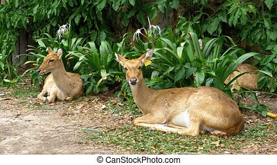 Deer lying in the bushes at the Khao Kheow. Thailand