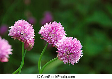 Three delicate pink blooms on a chive plant