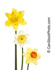 Three different daffodils
