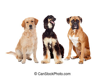 Three differents big dogs sitting isolated on a white...