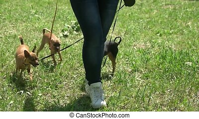Three dogs are following their master. Three leashed...