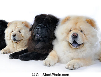 chow-chow - three dogs breed chow-chow on a white background