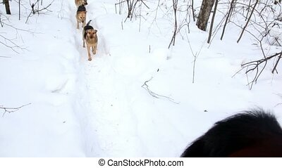 Three dogs run behind horse at winter day, rider view in...