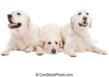 Three dogs - Three golden retriever dogs lying together on...