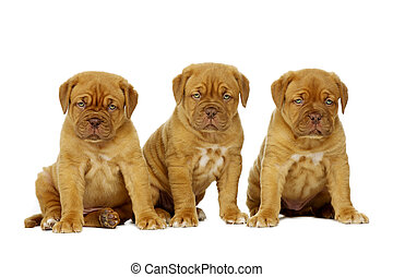 Three Dogue De Boudeux Puppies Isolated on a white background