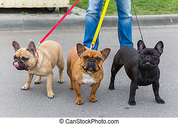 three Domestic dogs French Bulldog breed on leash. Focus on the dog muzzle, shallow depth of field