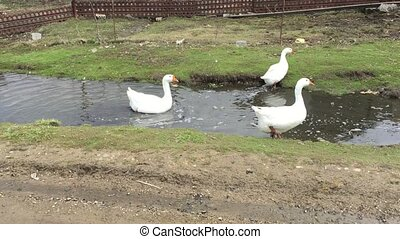 Three domestic white geese goes on the field