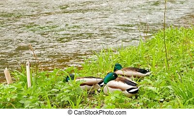 Three drake resting on the river ba