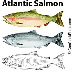 Three drawing styles of atlantic salmon