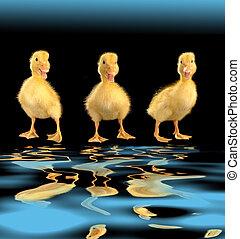three duck on a black background