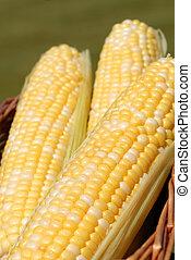 Three ears of fresh corn in a basket