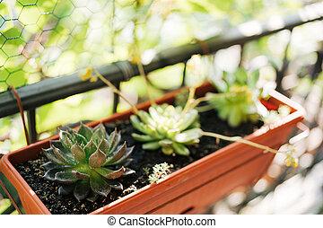 Three Echeveria succulents in a rectangular flower pot on the balcony.