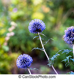Three echinops flowers during a summer day with one having a bumblebee