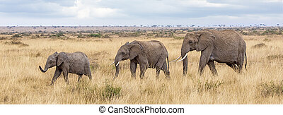 Three elephants in the Masai mara - Elehant group walking ...
