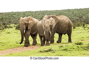 Three elephants walking on a path