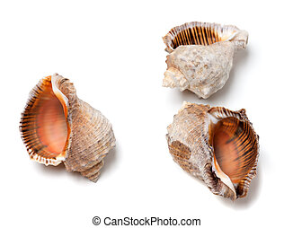 Three empty shells from rapana venosa