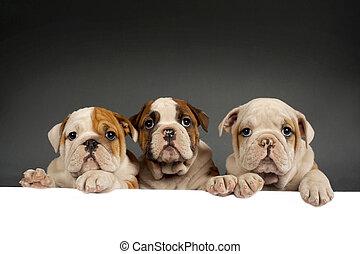 English bulldog puppies - Three English bulldog puppies with...