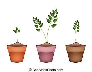 Three Evergreen Plants in Ceramic Flower Pots